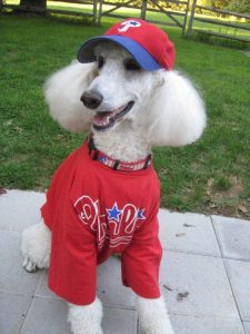 Phillies poodle