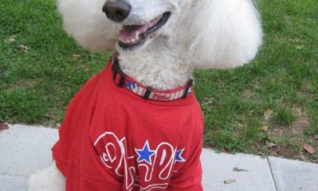 Phillies poodle